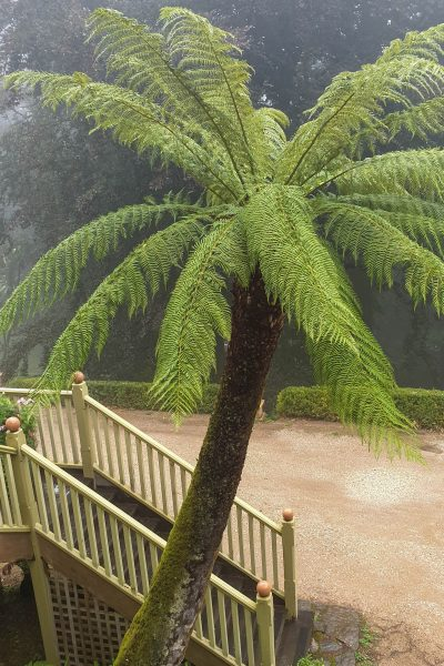 Tree Fern planted in the 1880s
