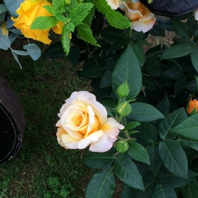 Look for sculptural roses