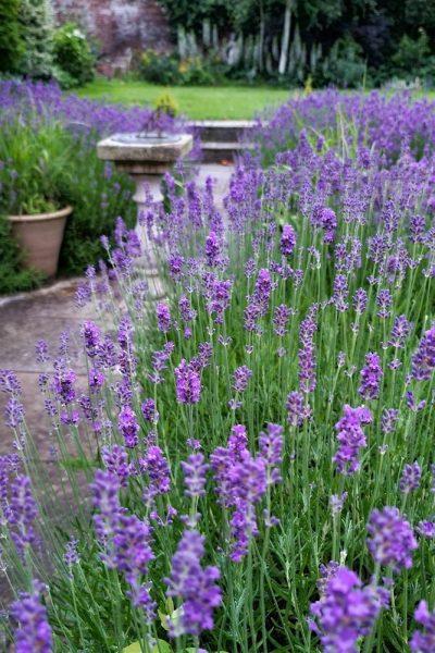 Cut your lavender back hard