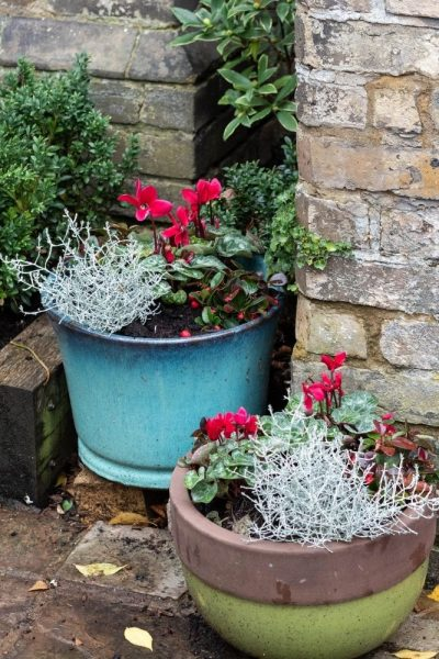 Evergreen barbed wire plants for pots
