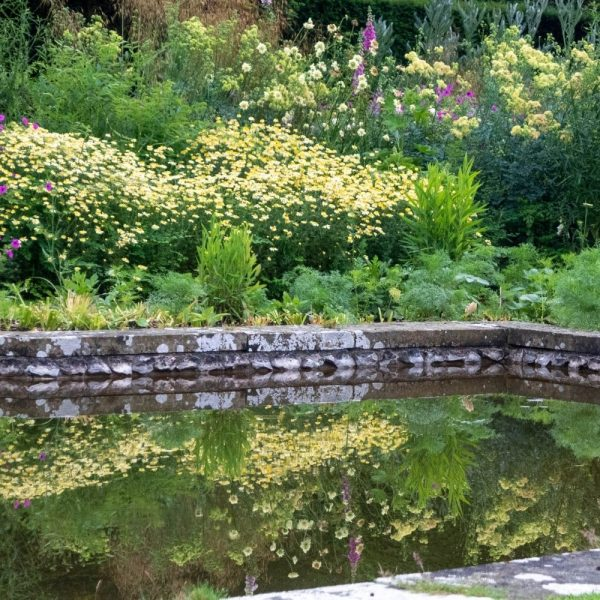 Long-lasting perennial flowers reflected in the pond