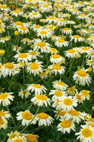 Anthemis tinctoria - one of the long-lasting perennial flowers