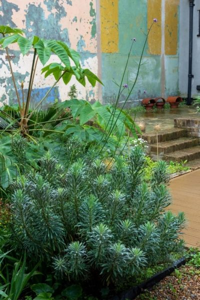 Euphorbia and tetrapanax