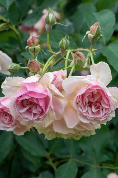 Close up of Rose 'Felicia'