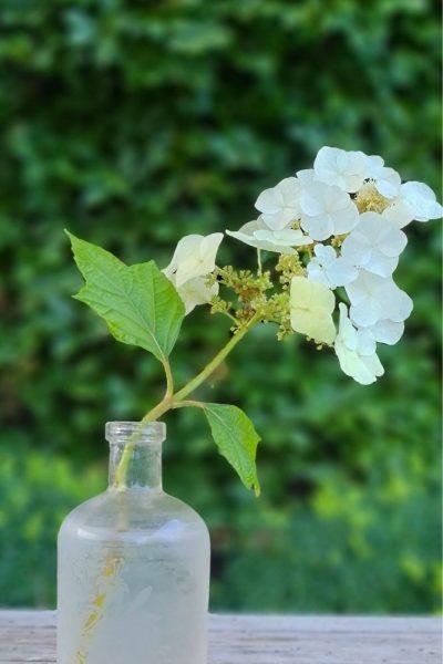Oakleaf hydrangeas are resilient flowers