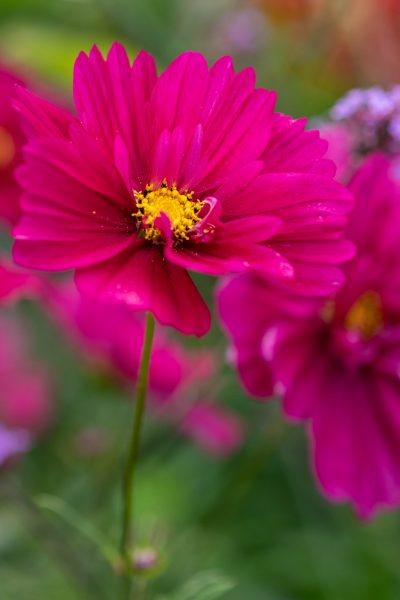 Cosmos are resilient flowers