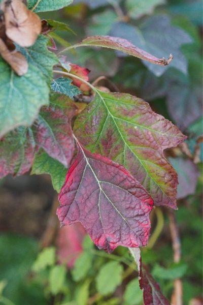 Autumn foliage for oak leaf hydrangeas