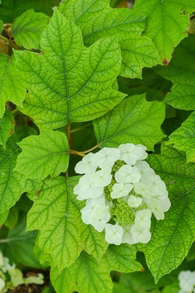 Oakleaf hydrangea leaves.