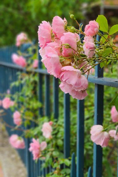 Bonica roses