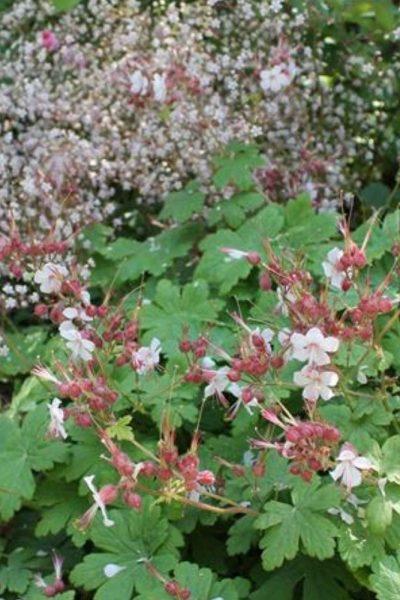 Hardy geraniums for shady dry gardens