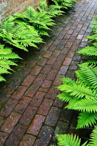 Ferns are good plants for dry shade
