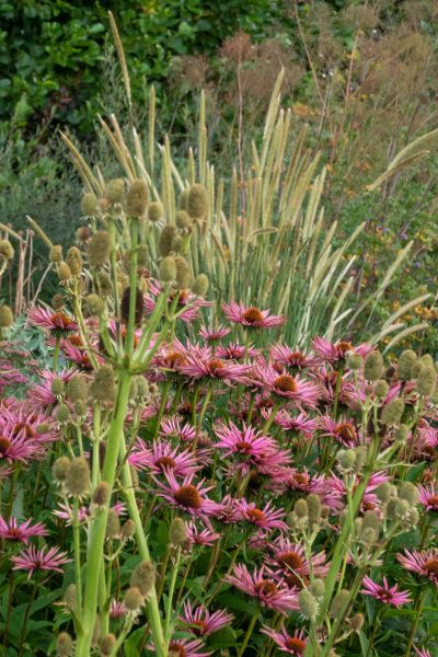 Unknown echinacea and pennisetum