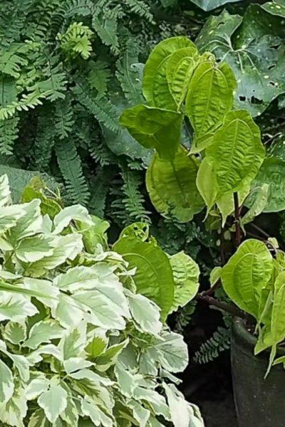 Contrasting leaf shapes