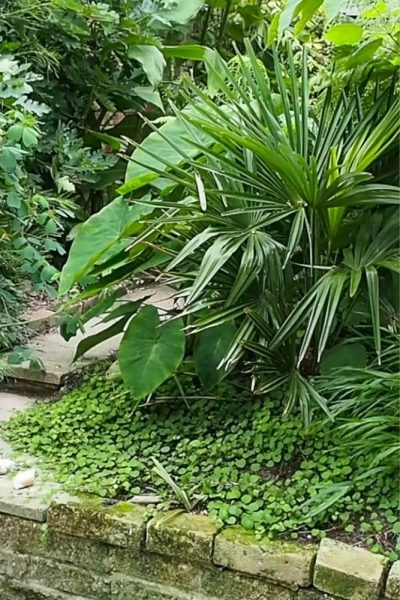 Trachycarpus and colocasia