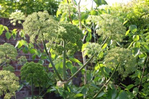 self-seeded angelica gigas