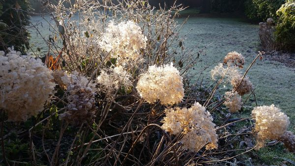 Winter hydrangeas by Jacqui Sinnatt