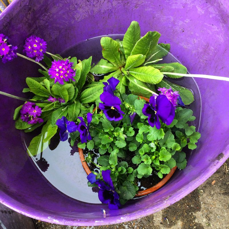 Soak plants in a bucket