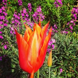 Wallflower Bowles Mauve and tulip ballerina