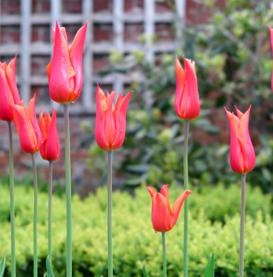 orange Ballerina tulips