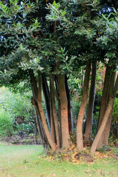 Prune away lower branches in a medium sized garden