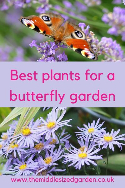 Asters and symphyotricum for butterflies