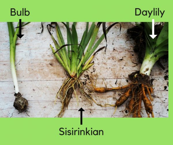 Daylilies, sisirinkian and bulbs