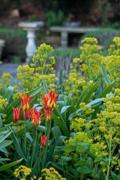 Tulips and euphorbia