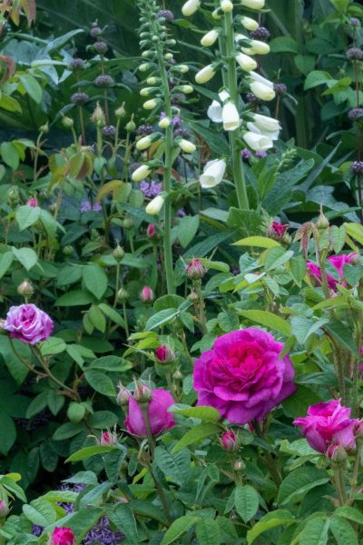 Pairing roses and foxgloves
