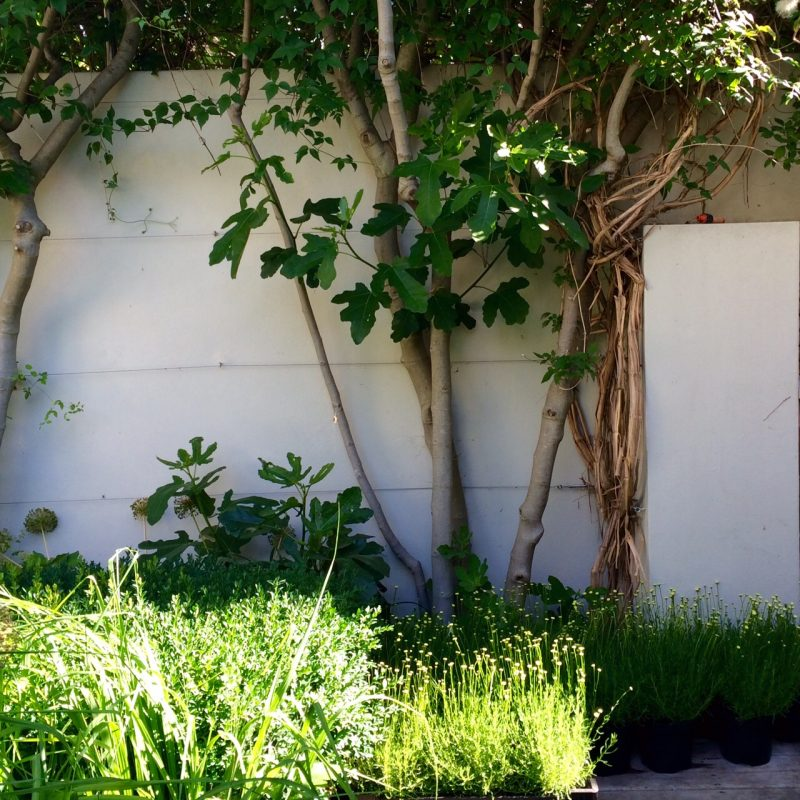 This fig tree, with its bare trunk, is a generous yet space-saving tree for a small urban garden. Beneath it are several crates of Santolina 'Primrose Gem' awaiting delivery to a client. 'Garden designers' gardens are always full of left-over plants or plants waiting to be delivered,' says Charlotte.