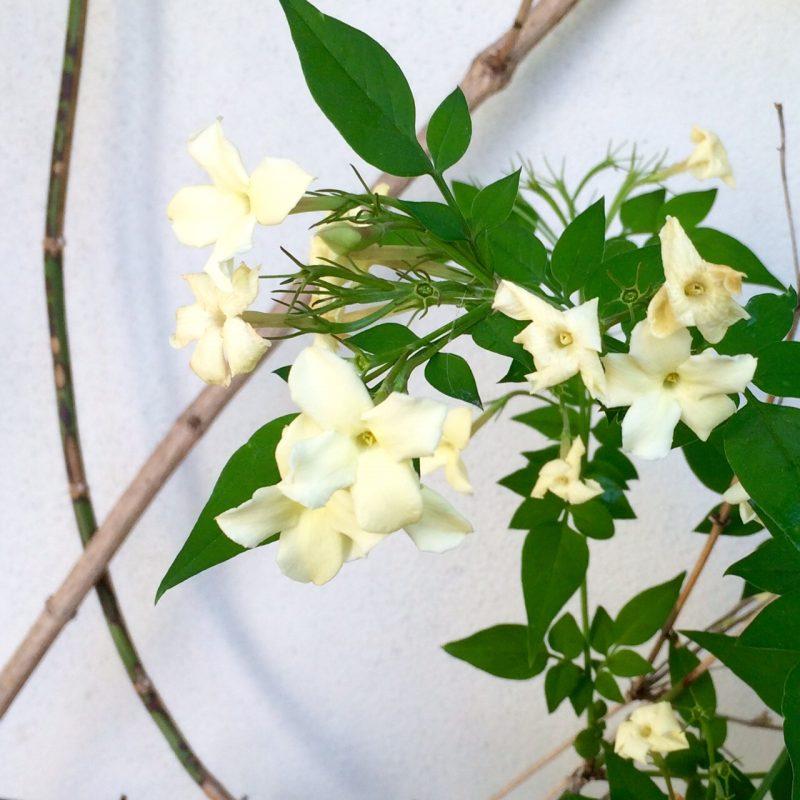 Honeysuckle 'Clotted Cream' - choose unusual and stylish variants of familiar plants.