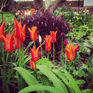 Clematis and tulips in the middle-sized garden