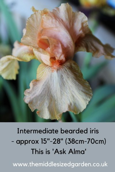 Inermediate irises can grow in shade