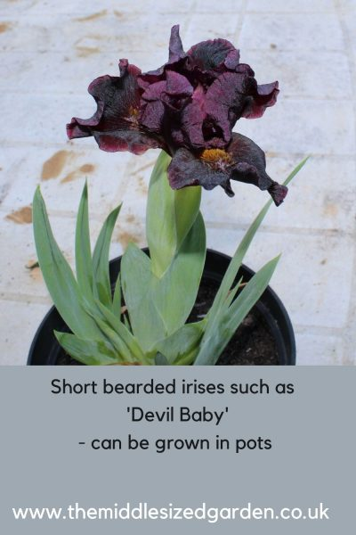 Short bearded irises can grow in pots