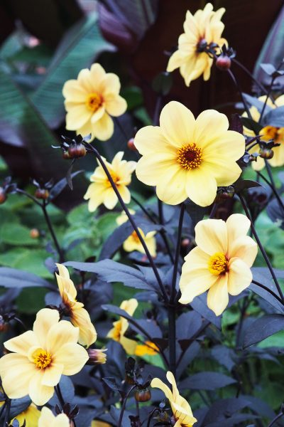 Dahlia 'Hadrian's Sunlight' at The Salutation