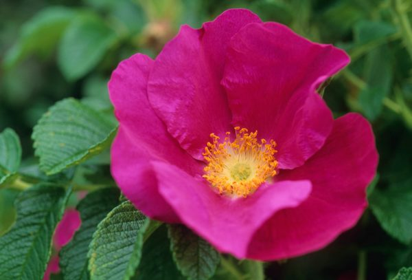 Roses for windy gardens