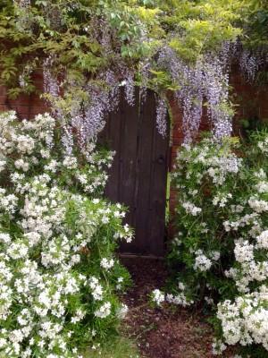 Wisteria over a garden door