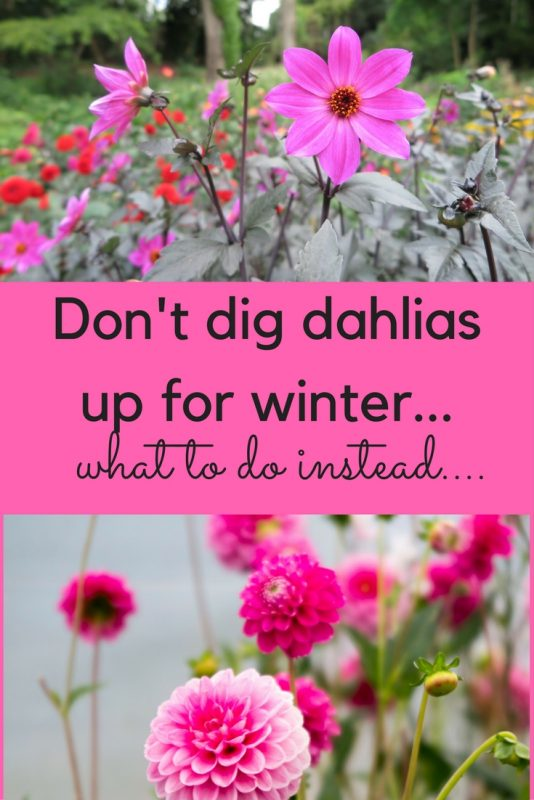 Don't dig up dahlias for winter...what to do instead