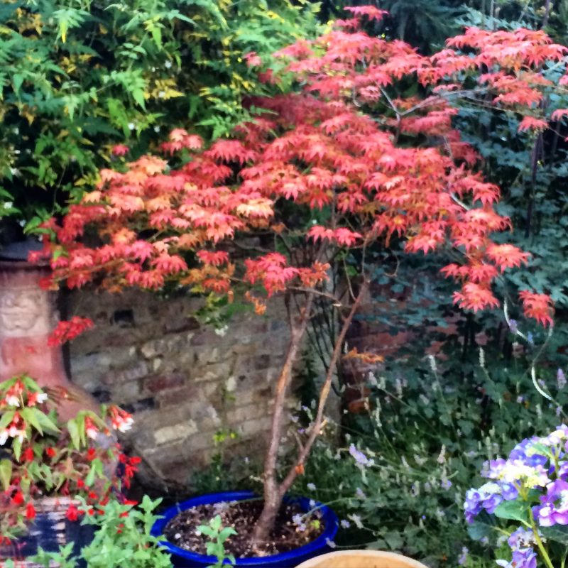 Keep acers in pots if your soil isn't right for planting them in the ground.