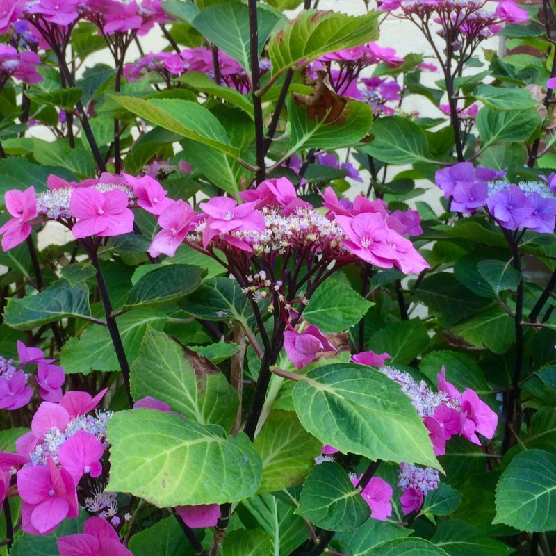 Black-stemmed hydrangea in August