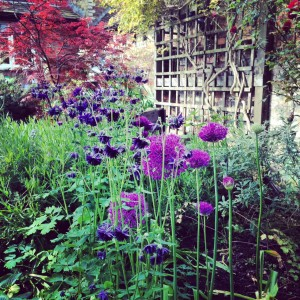 Alliums and aquilegia