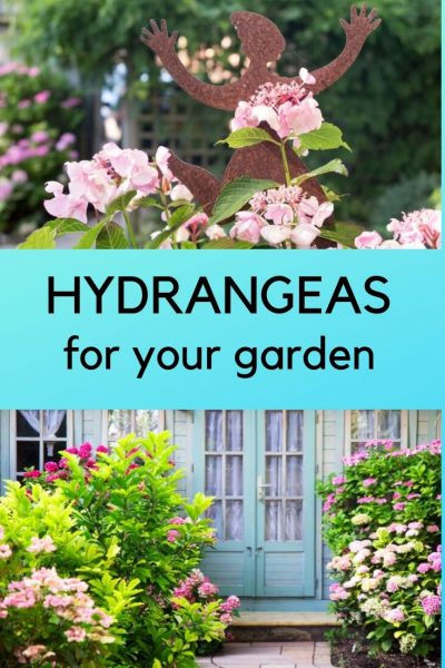 tips on growing hydrangeas
