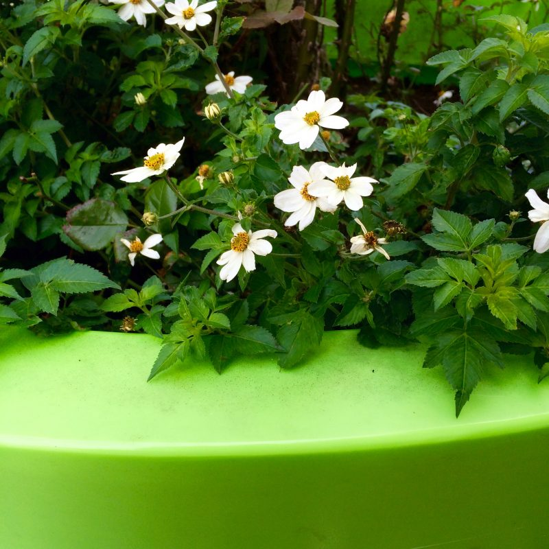 Bright green pot and daisies