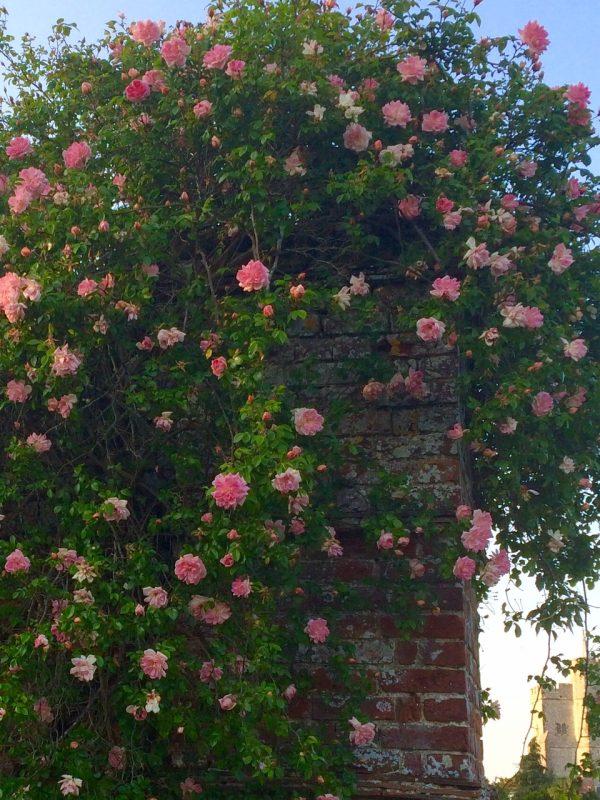Romantic climbing roses.