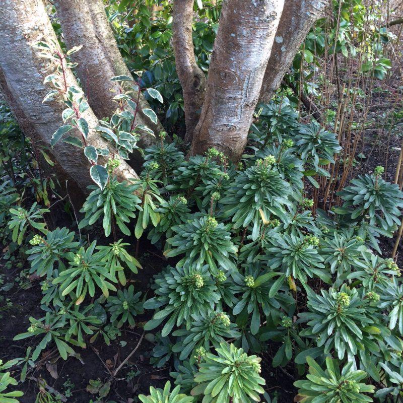 Portuguese Laurel for evergreen privacy