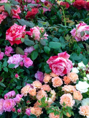 Roses add colour to gardens