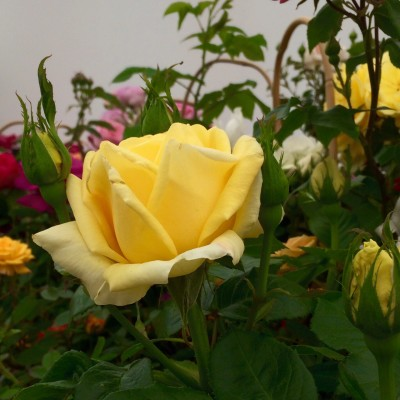 Guy's Gold rose from Harkness