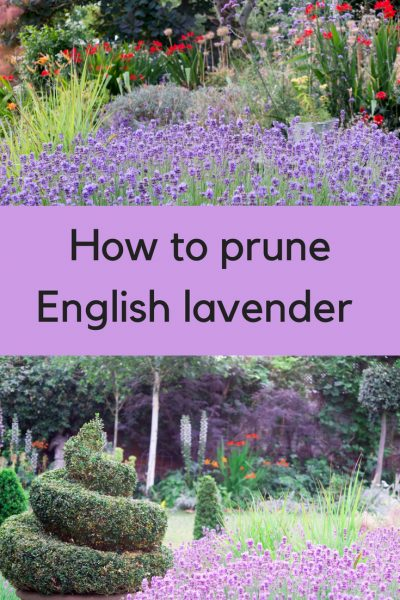 Prune lavender beautifully - most of the advice you see is not correct! This is how lavender growers and professionals prune lavender and it's easy (and you do prune 'into the wood'!)