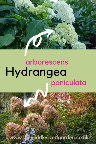 Hyndrangeas arborescens and paniculata