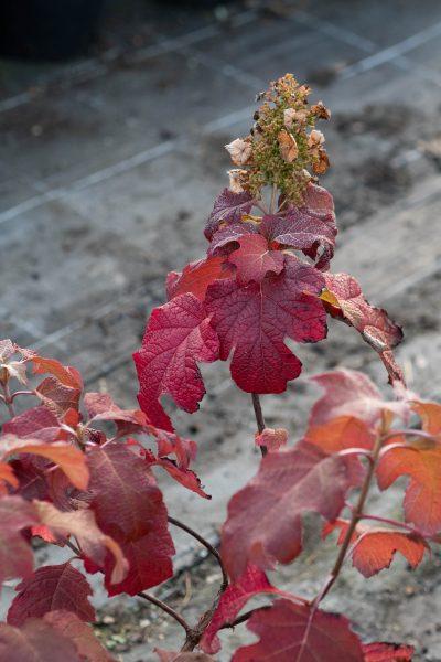 Oak leafed hydrangeas