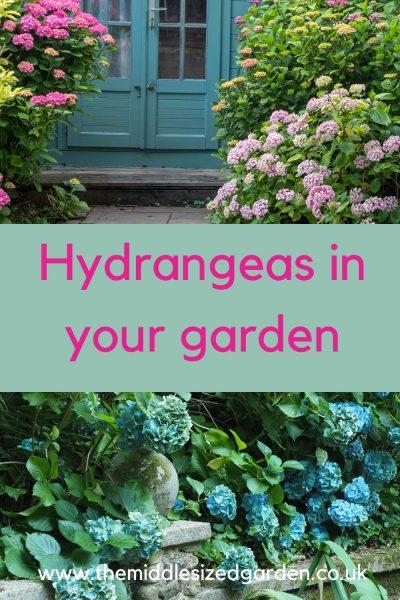 Blue or pink hydrangeas!